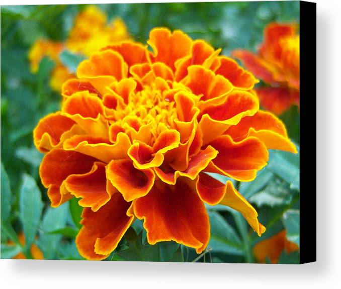Flowers Canvas Print featuring the photograph Marigold Photograph by Vicki Berchtold