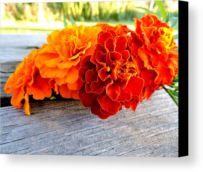 Canvas Print featuring the photograph Marigolds by Nancy Wagener