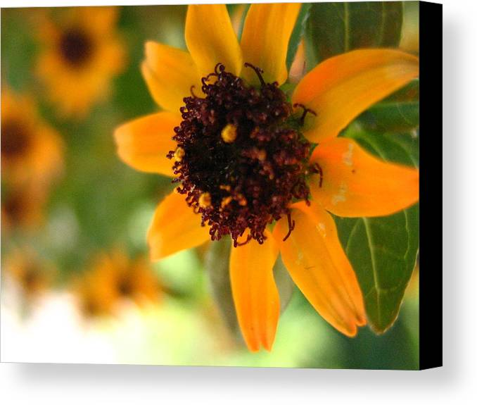 Flower Canvas Print featuring the photograph Mini Sunflower by Melissa Parks
