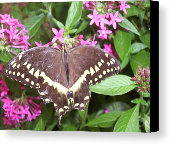 Monarch Canvas Print featuring the photograph Monarch Beauty by Shannon Nazworth