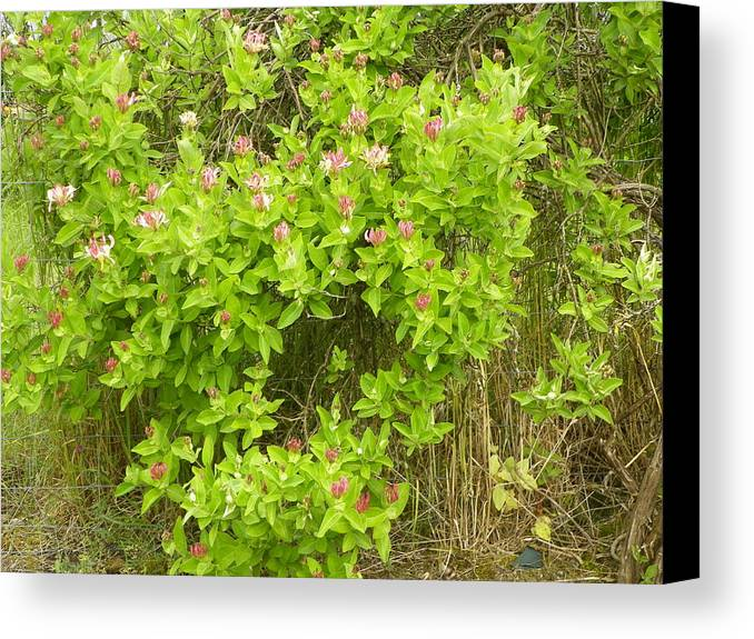 Digital Photography Canvas Print featuring the photograph More Wild Honeysuckle by Laurie Kidd