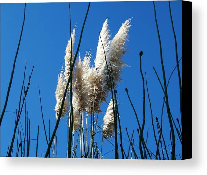 Reeds Canvas Print featuring the photograph Morning Blue by John Loyd Rushing