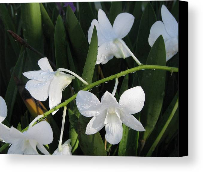 Orchid Canvas Print featuring the photograph Morning Dew by Jim Derks