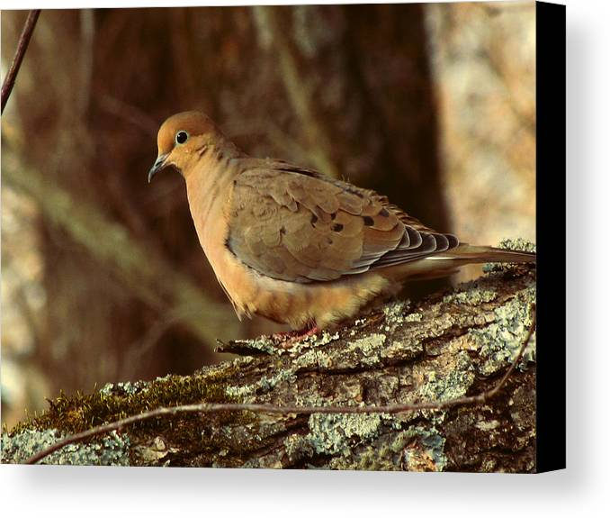 Photo Canvas Print featuring the photograph Mourning Dove At Dusk by Amy Tyler