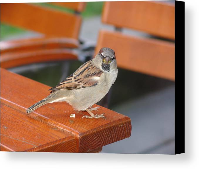 Sparrow Canvas Print featuring the photograph My Little Friend In Berlin by Kevin Callahan