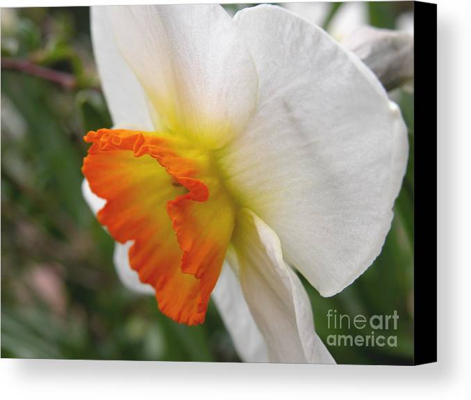 Flower Canvas Print featuring the photograph Narcissus II by Michelle Hastings