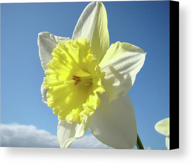 �daffodils Artwork� Canvas Print featuring the photograph Nature Daffodil Flowers Art Prints Spring Nature Art by Baslee Troutman