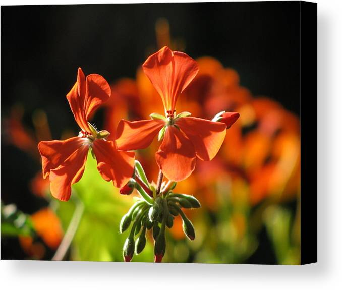 Flower Canvas Print featuring the photograph Orange Glow by Alfred Ng