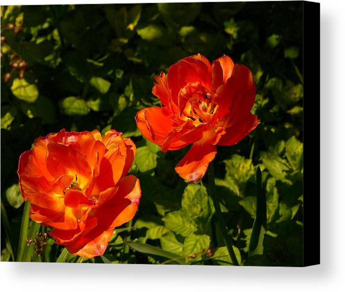 'orange Tulips' Canvas Print featuring the photograph Orange Tulips In My Garden by Helmut Rottler