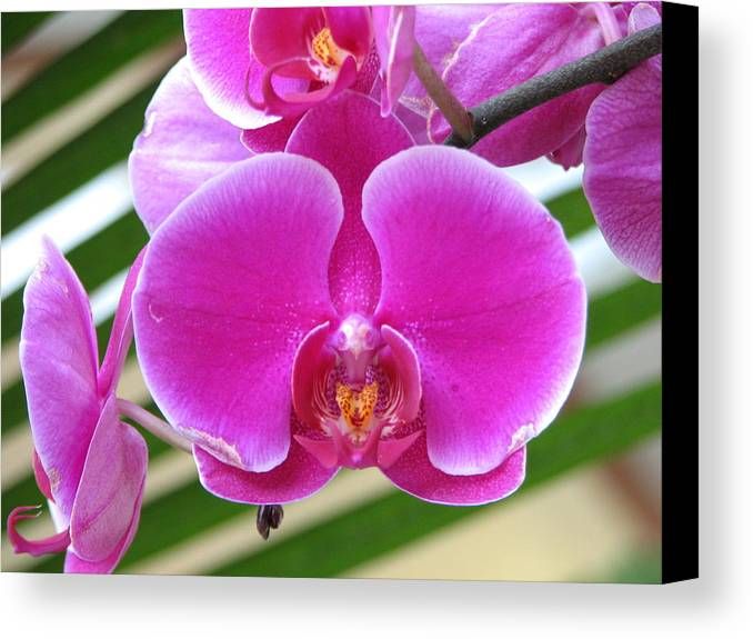 Orchid Canvas Print featuring the photograph Orchid 8 by David Dunham