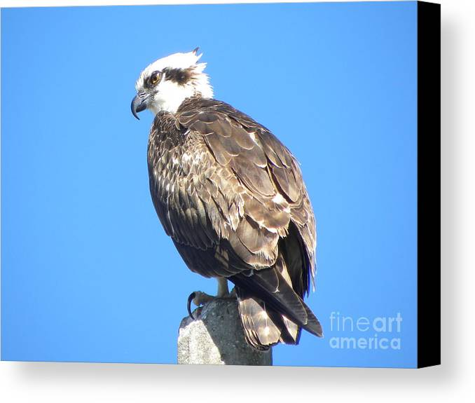 Osprey Canvas Print featuring the photograph Osprey by Terri Mills