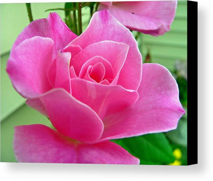 Flower Canvas Print featuring the photograph p1050202b Pink Rose by Ed Immar