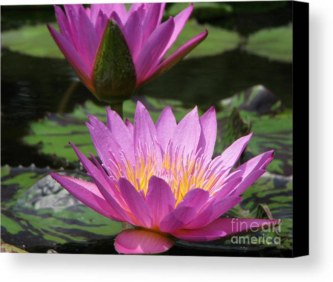 Lillypad Canvas Print featuring the photograph Peaceful by Amanda Barcon