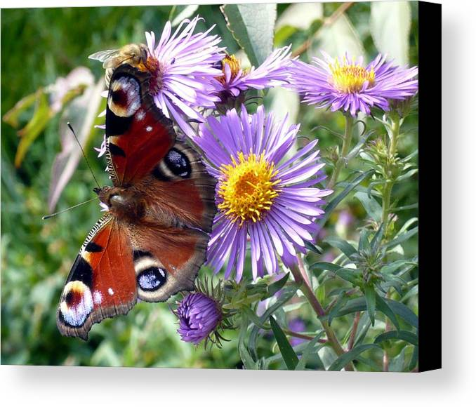 Peacock Canvas Print featuring the photograph Peacock With Bee by Helmut Rottler