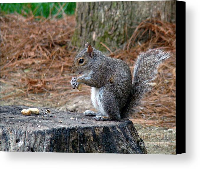 Squirrel Canvas Print featuring the photograph Peanut Feast by Sue Melvin