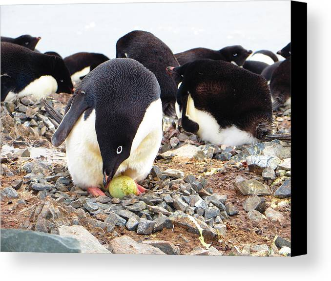 Penguin Canvas Print featuring the photograph Penguin And Her Egg by Harry Coburn