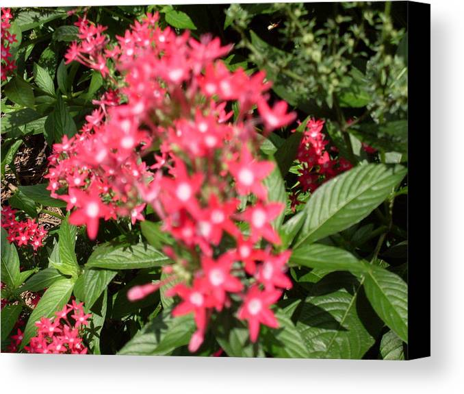 Pink Canvas Print featuring the photograph Pink Butterfly Penta Flowers by Warren Thompson