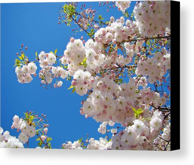 �blossoms Artwork� Canvas Print featuring the photograph Pink Tree Blossoms Art Prints 55 Spring Flowers Blue Sky Landscape by Baslee Troutman