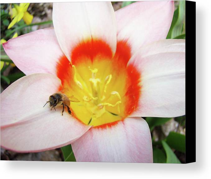 Tulip Canvas Print featuring the photograph Pink Tulip Flower Orange Art Prints Honey Bee Baslee Troutman by Baslee Troutman