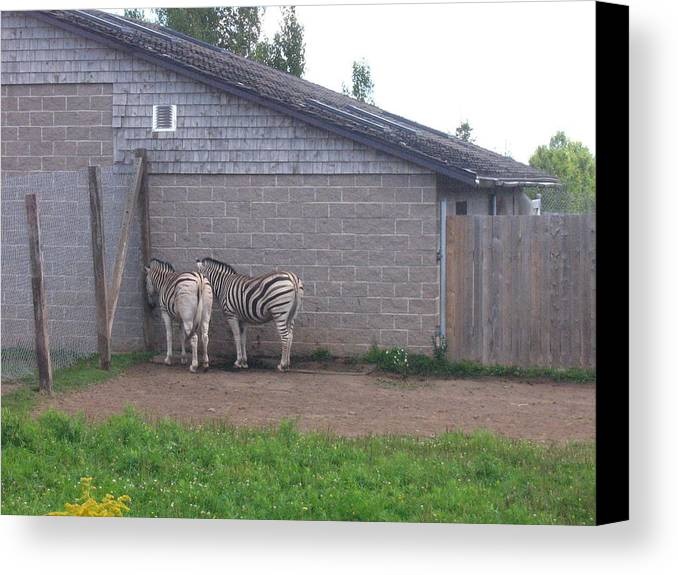 Zebra Canvas Print featuring the photograph Plains Zebras In The Corner by Melissa Parks