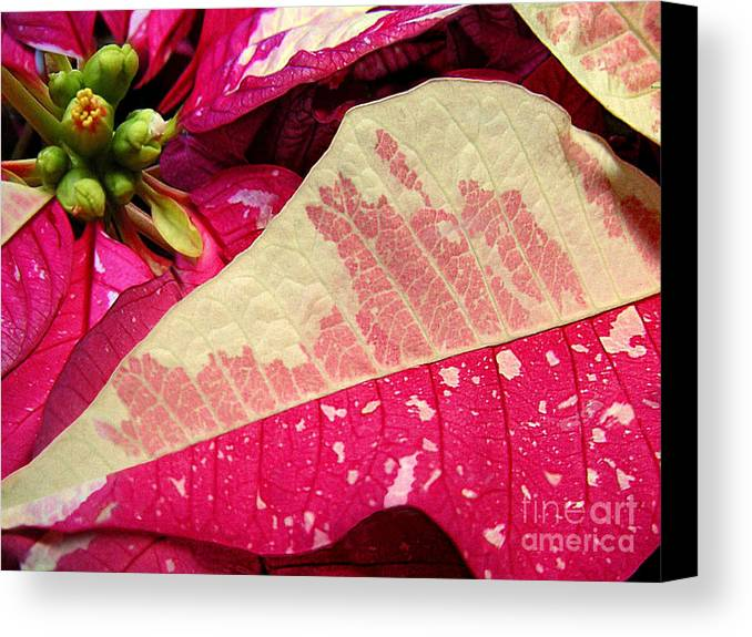 Nature Canvas Print featuring the photograph Poinsettias - Painted And Speckled Up Close by Lucyna A M Green