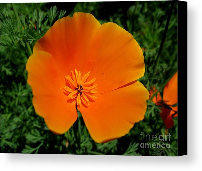 Orange Poppy Canvas Print featuring the photograph Poppy Season by PJ Cloud