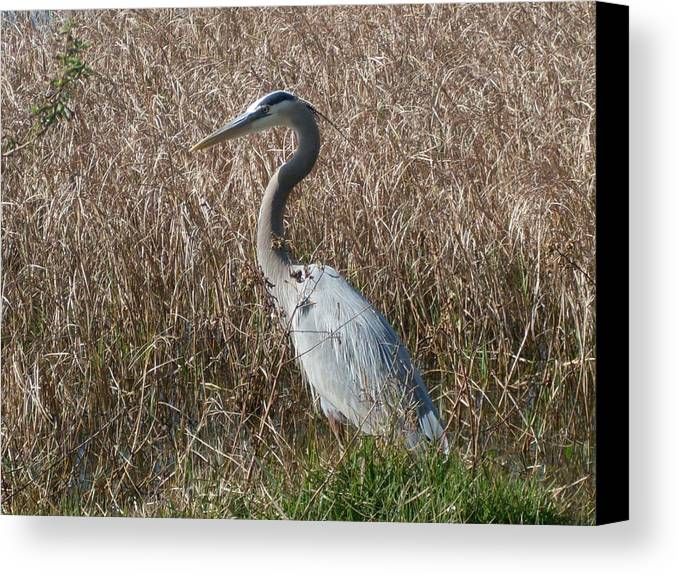 Great Blue Heron Florida Bird Landscape Canvas Print featuring the photograph Posing Heron by Warren Thompson