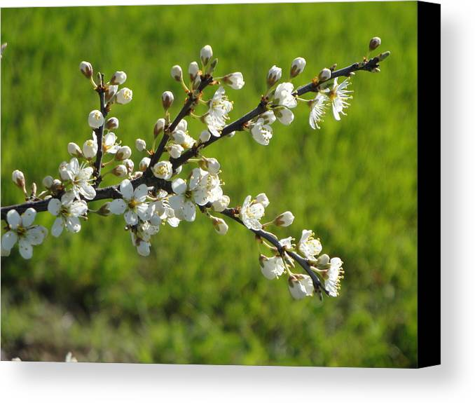 Flora Canvas Print featuring the photograph Pride Of The Hedgerow by Susan Baker
