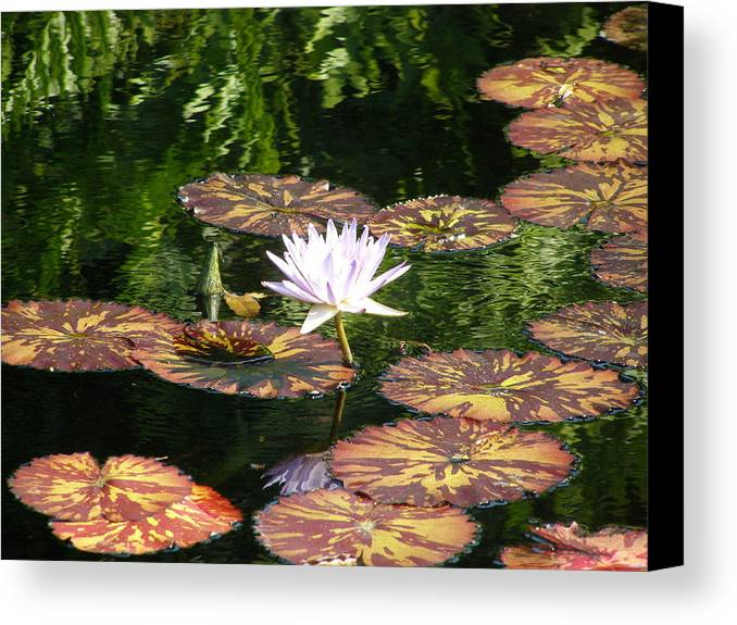Flowers Canvas Print featuring the photograph Pure Water Lily by Jeanette Oberholtzer