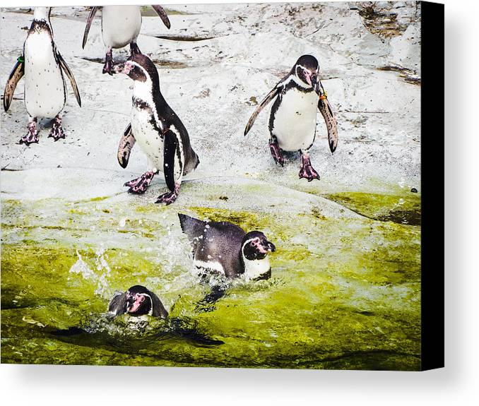 Penguins Canvas Print featuring the photograph Quick Dip by Christina Zizzo