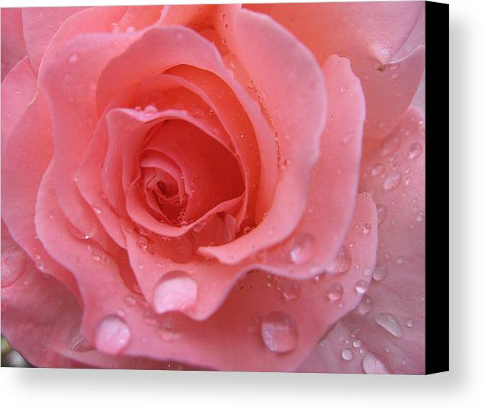 Floral Canvas Print featuring the photograph Raindrops On Roses And..... by Kathy Roncarati