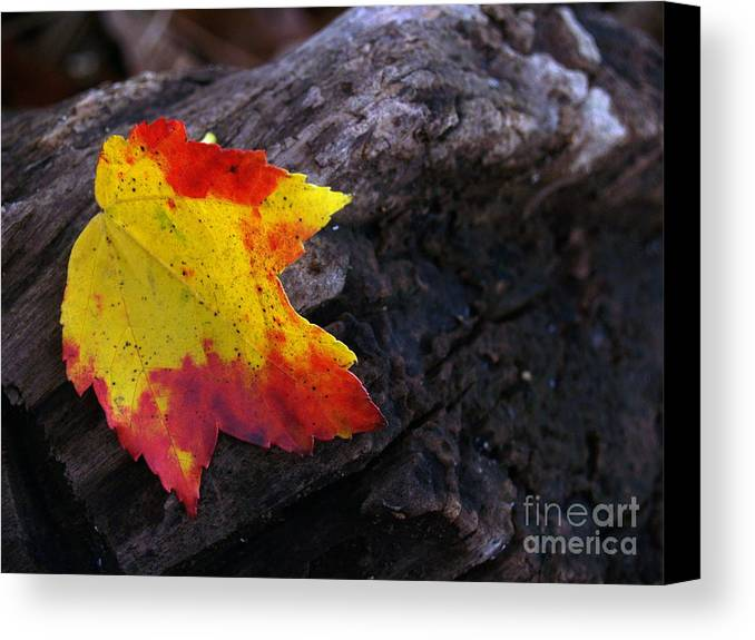 Leaf Canvas Print featuring the photograph Red Maple Leaf On Old Log by Anna Lisa Yoder