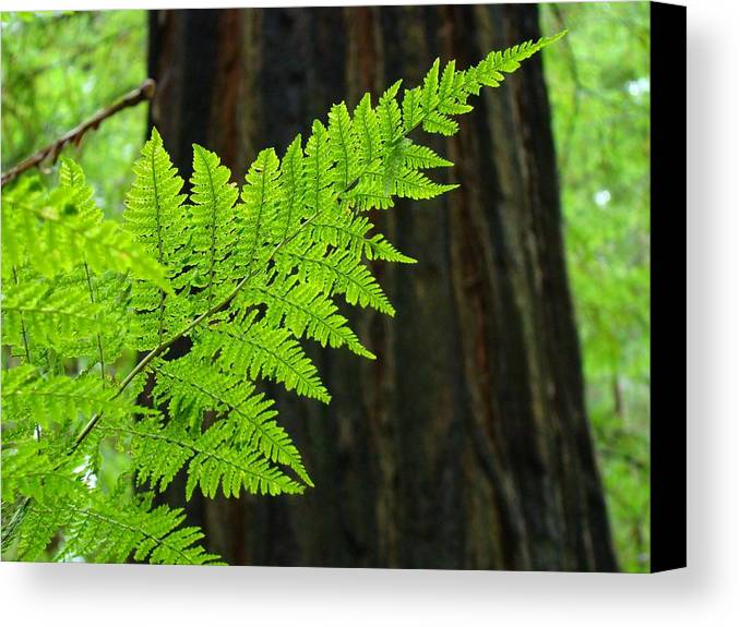 Fern Canvas Print featuring the photograph Redwood Tree Forest Ferns Art Prints Giclee Baslee Troutman by Baslee Troutman