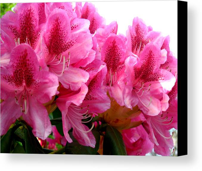 Rhododendron Canvas Print featuring the photograph Rhododendron I by Aliza Souleyeva-Alexander