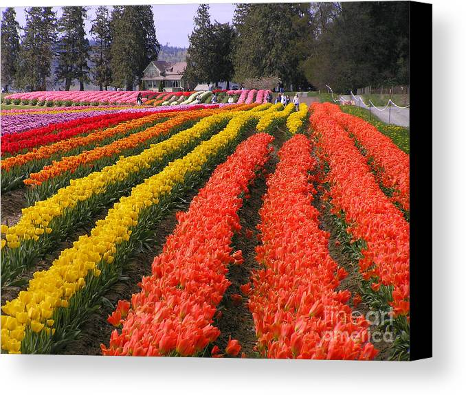 Tulips Canvas Print featuring the photograph Ribbons Of Color by Louise Magno