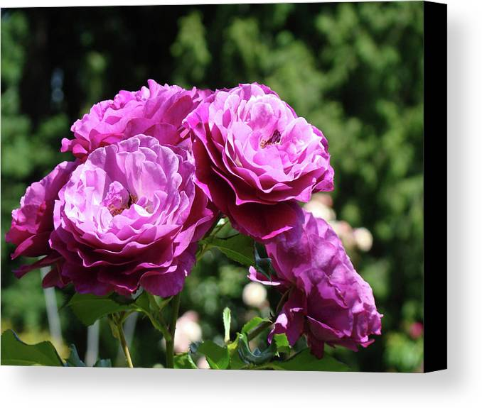 Rose Canvas Print featuring the photograph Roses Art Rose Garden Pink Purple Floral Prints Baslee Troutman by Baslee Troutman