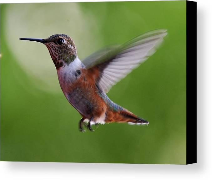 Hummingbirds Canvas Print featuring the photograph Rufus Hummingbird In Flight by Heidi Fickinger