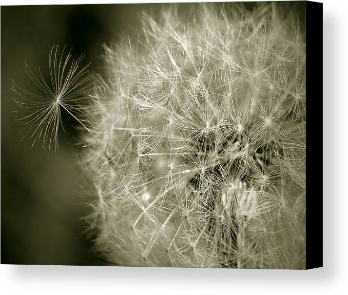 Nature Canvas Print featuring the photograph Seedy Dandelion by Mary Lane