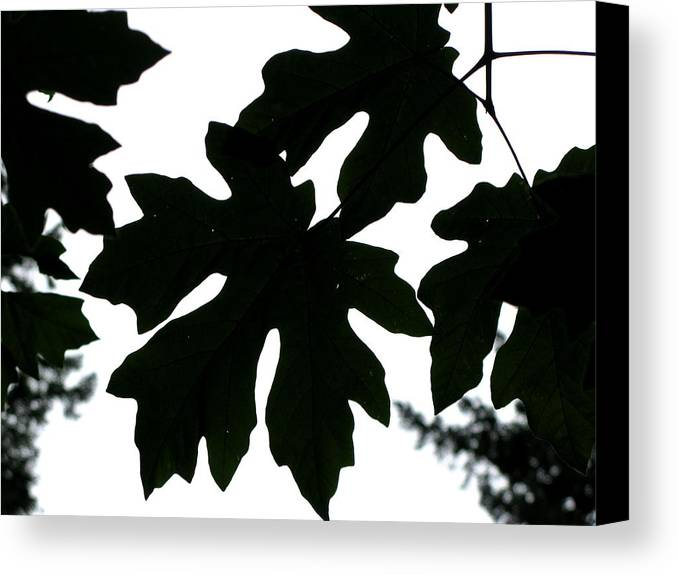 Tree Canvas Print featuring the photograph Silhouetted Maple by PJ Cloud