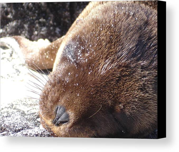 Animal Canvas Print featuring the photograph Sleeping Sea Lion by Chad Natti