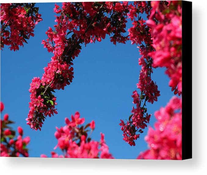 Spring Canvas Print featuring the photograph Spring Blossoms by Juergen Roth