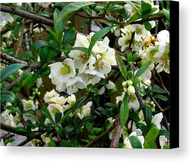 Spring Flowers Canvas Print featuring the photograph Spring Delight IIi by Aliza Souleyeva-Alexander