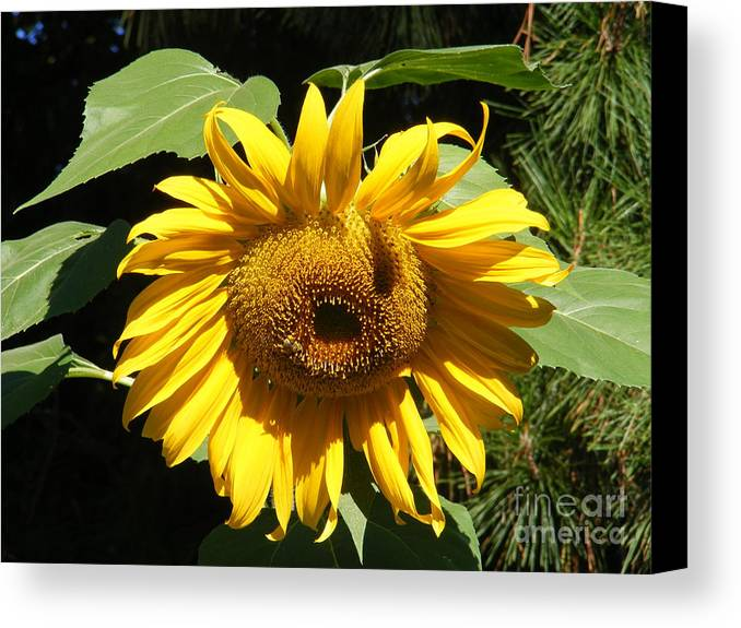 Landscape Canvas Print featuring the photograph Strolling Through The Sunflowers by Gail Salitui