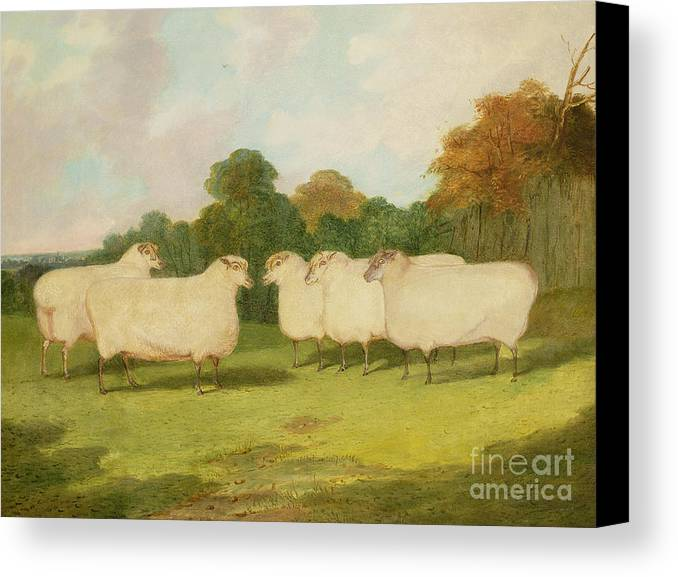 Study Canvas Print featuring the painting Study Of Sheep In A Landscape  by Richard Whitford