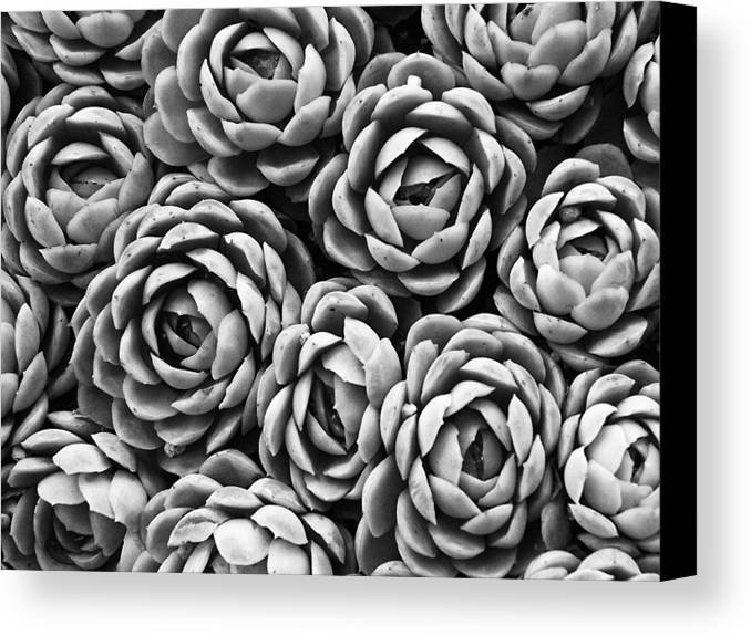 Succulents Canvas Print featuring the photograph Succulents In Black And White by Marion McCristall