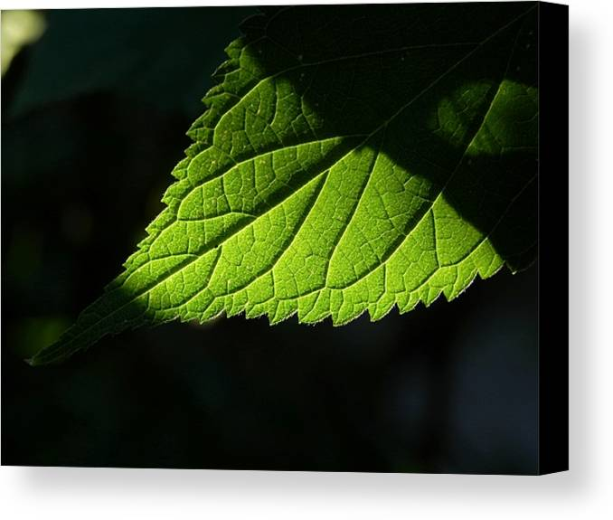 Foliage Canvas Print featuring the photograph Sundance by Debbie Summers