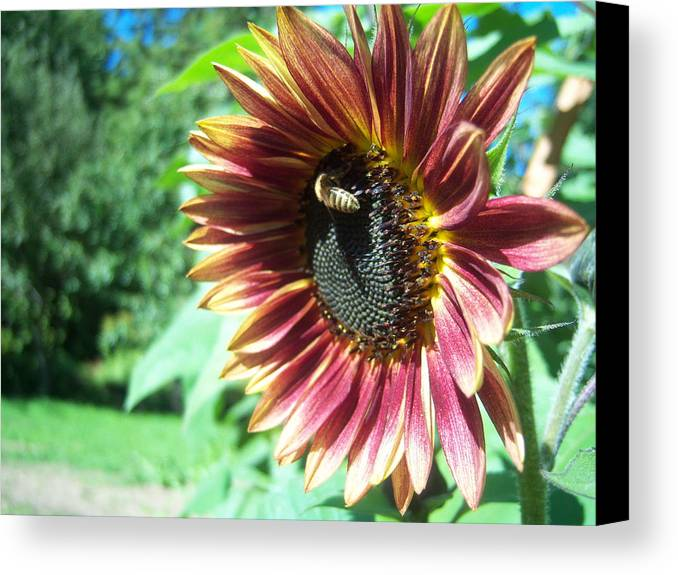 Sun Canvas Print featuring the photograph Sunflower 109 by Ken Day