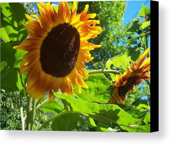 Sun Canvas Print featuring the photograph Sunflower 122 by Ken Day