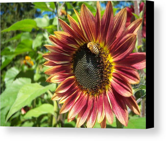 Sun Canvas Print featuring the photograph Sunflower 129 by Ken Day