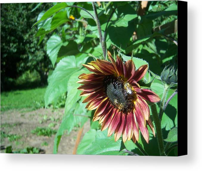 Sun Canvas Print featuring the photograph Sunflower 134 by Ken Day